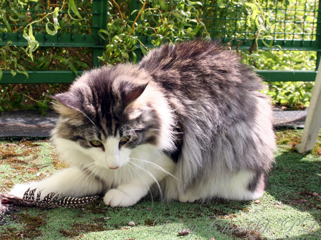 Kot norweski leśny Abigail