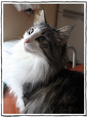 Kot norweski leśny srebrzysty pręgowany tygrysio bikolor Abigail Kocie Zakamarki*PL mieszkający w hodowli Leśny Chochlik*PL w Gdyni