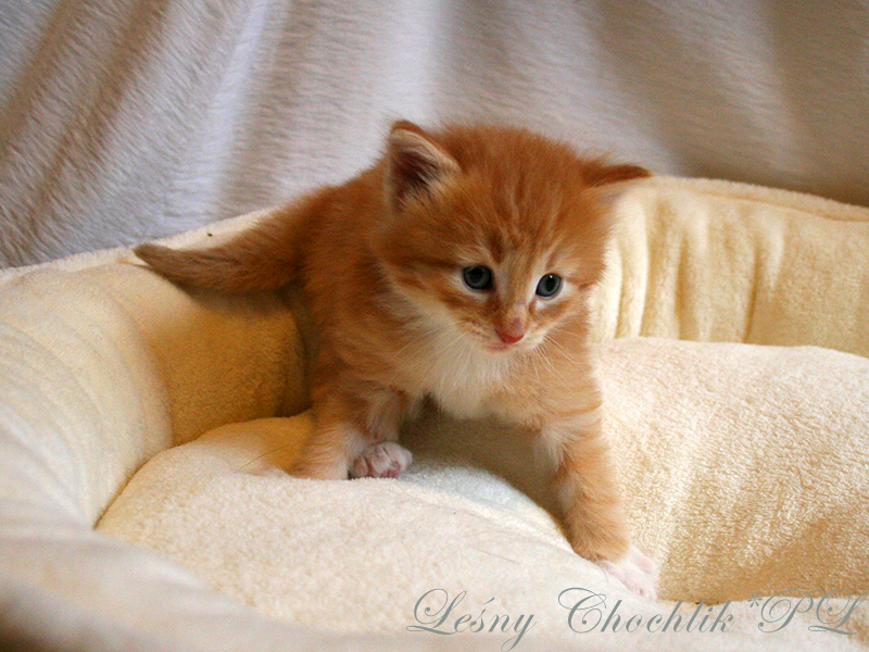 Kot norweski leśny Ader Leśny Chochlik*PL - 3 tydzień