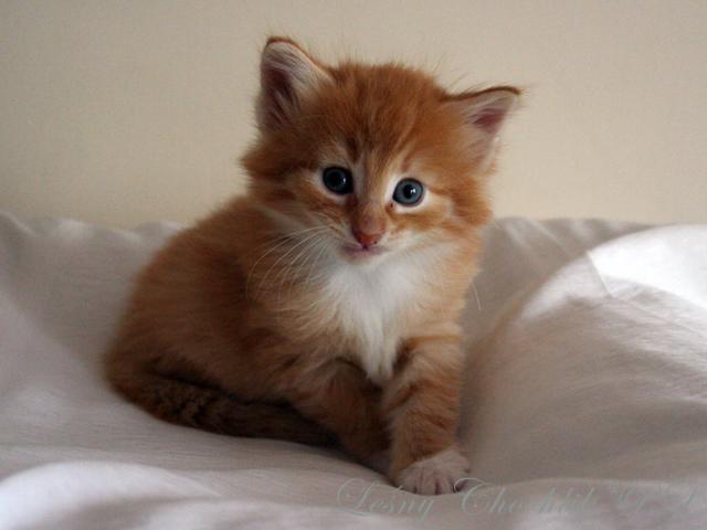 Kot norweski leśny Ader Leśny Chochlik*PL - 4,5 tygodnia
