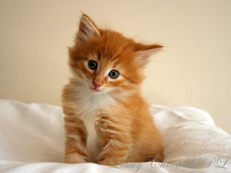 Kot norweski leśny Ader Leśny Chochlik*PL - 6 tygodni
