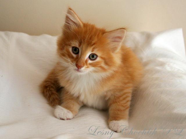 Kot norweski leśny Ader Leśny Chochlik*PL - 7 tygodni