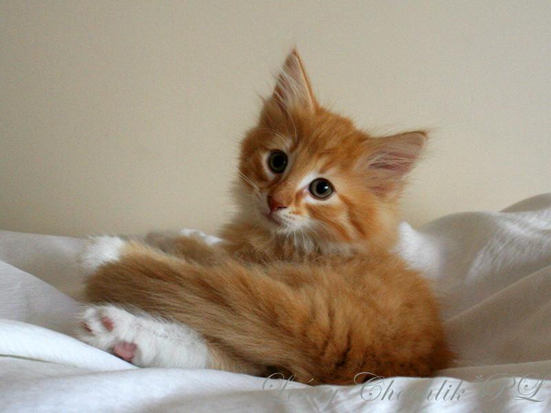 Kot norweski leśny Ader Leśny Chochlik*PL - 8,5 tygodnia