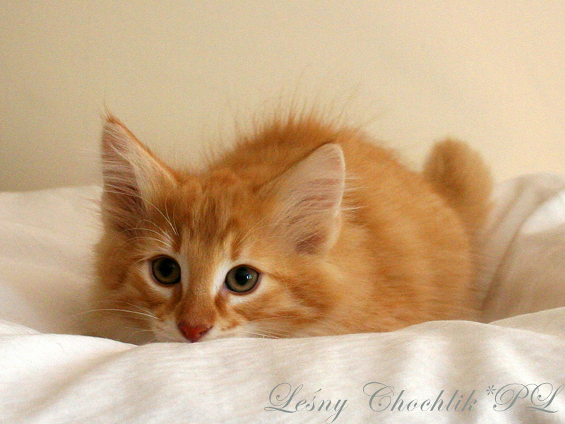 Kot norweski leśny Ader Leśny Chochlik*PL - 10 tygodni