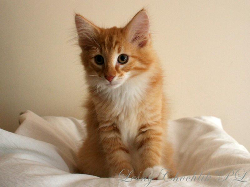 Kot norweski leśny Ader Leśny Chochlik*PL - 11,5 tygodnia
