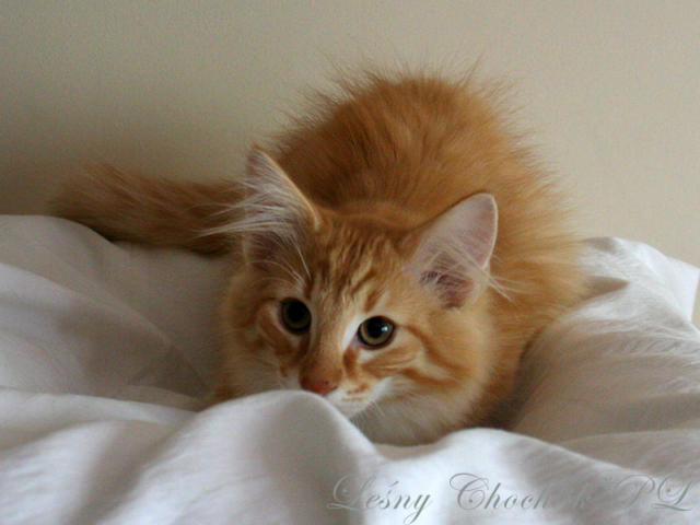 Kot norweski leśny Ader Leśny Chochlik*PL - 14 tygodni