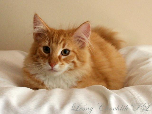 Kot norweski leśny Ader Leśny Chochlik*PL - 16 tygodni