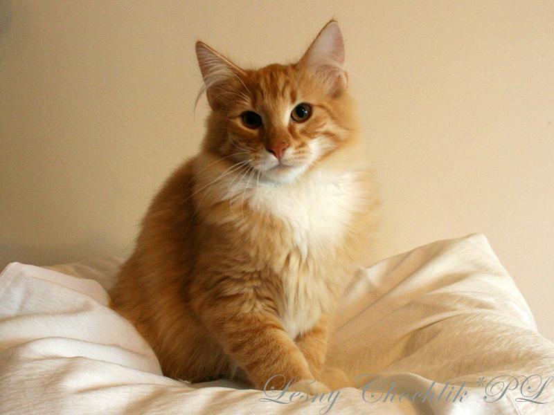 Kot norweski leśny Ader Leśny Chochlik*PL - 20 tygodni