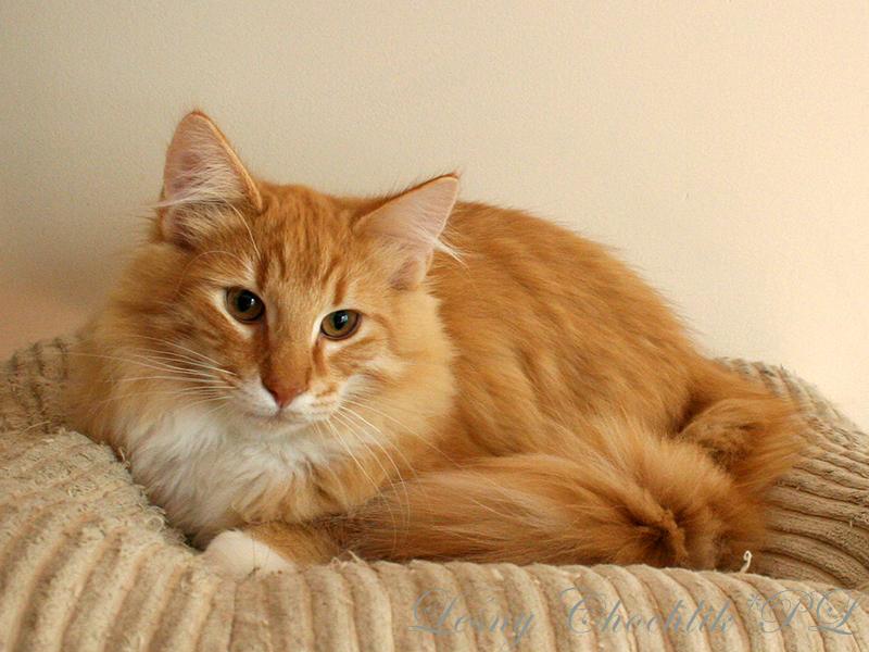 Kot norweski leśny Ader Leśny Chochlik*PL - 23 tygodnie