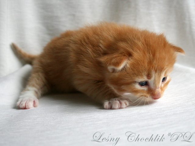 Kot norweski leśny Ader Leśny Chochlik*PL - 2 tydzień