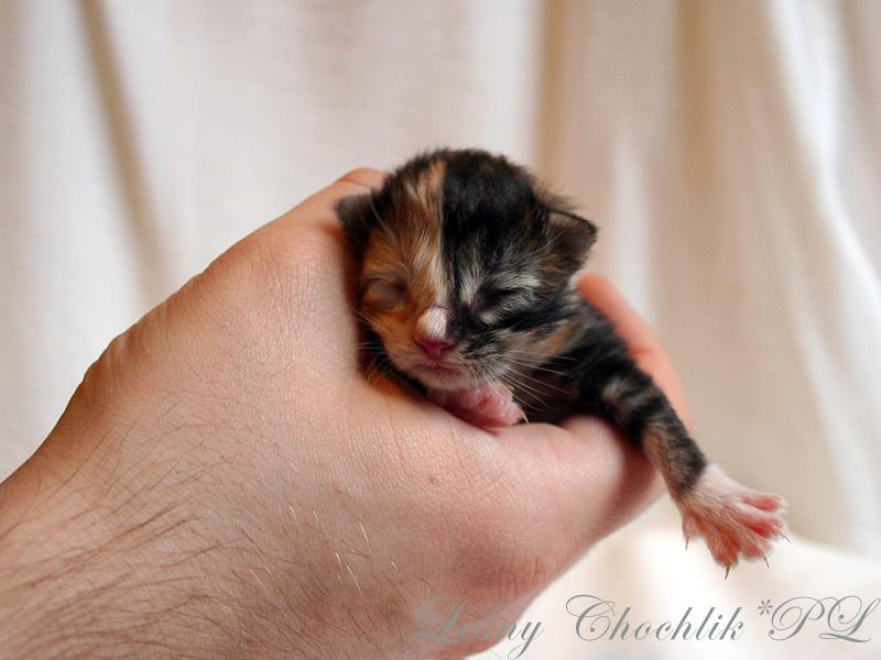 Kot norweski leśny Aika Leśny Chochlik*PL - 1 dzień