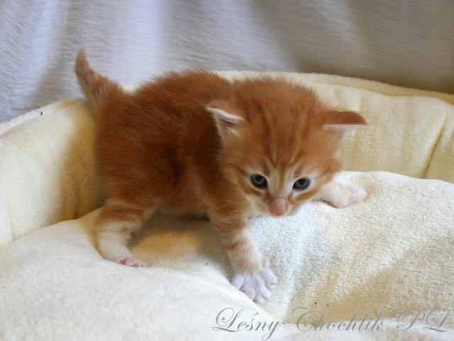 Kot norweski leśny Aiwazz Leśny Chochlik*PL - 3 tydzień