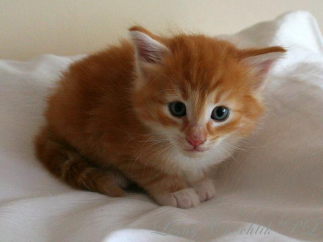 Kot norweski leśny Aiwazz Leśny Chochlik*PL - 4,5 tygodnia