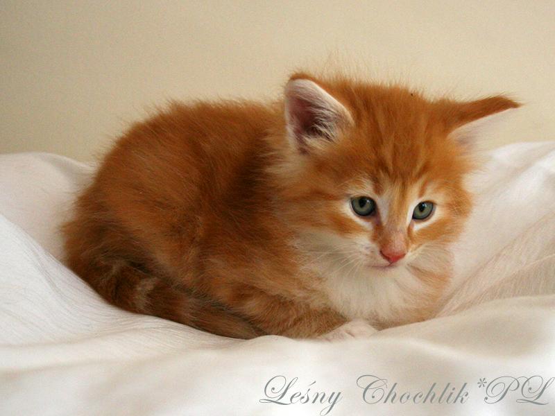 Kot norweski leśny Aiwazz Leśny Chochlik*PL - 6 tygodni