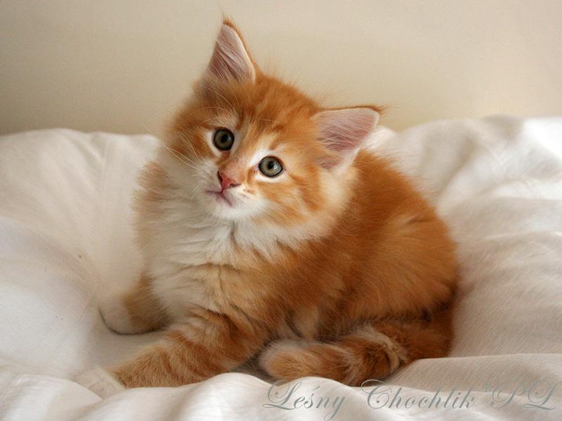 Kot norweski leśny Aiwazz Leśny Chochlik*PL - 7 tygodni