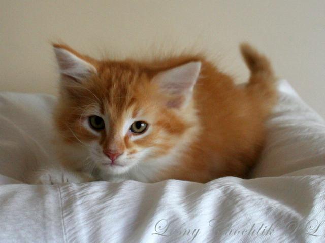 Kot norweski leśny Aiwazz Leśny Chochlik*PL - 8,5 tygodnia