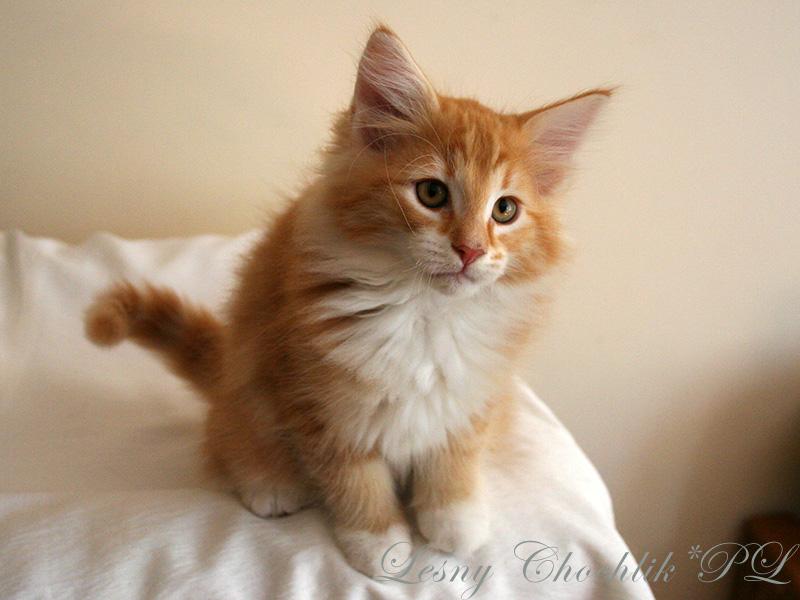 Kot norweski leśny Aiwazz Leśny Chochlik*PL - 10 tygodni