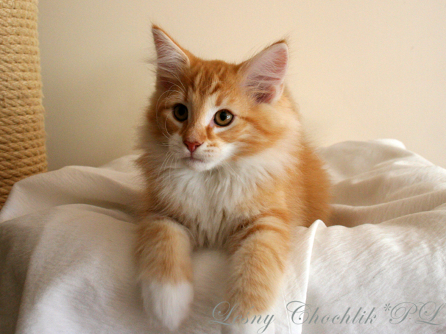 Kot norweski leśny Aiwazz Leśny Chochlik*PL - 11,5 tygodnia