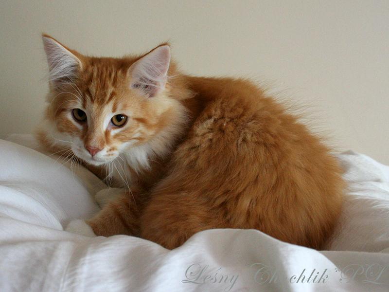 Kot norweski leśny Aiwazz Leśny Chochlik*PL - 14 tygodni