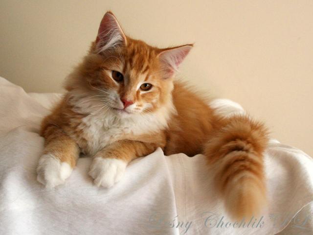 Kot norweski leśny Aiwazz Leśny Chochlik*PL - 16 tygodni