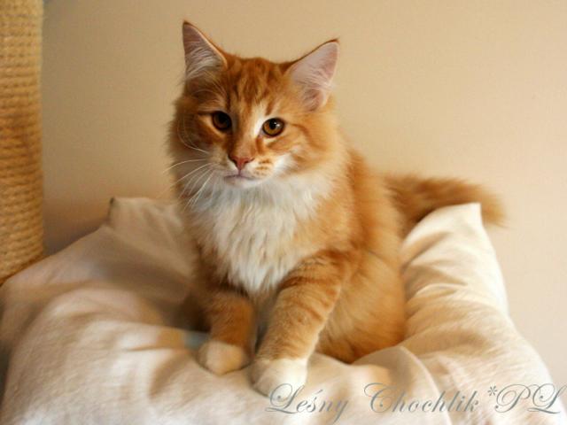 Kot norweski leśny Aiwazz Leśny Chochlik*PL - 20 tygodni