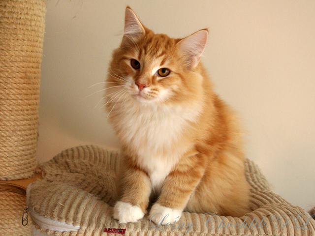 Kot norweski leśny Aiwazz Leśny Chochlik*PL - 23 tygodnie
