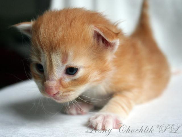 Kot norweski leśny Aiwazz Leśny Chochlik*PL - 2 tydzień