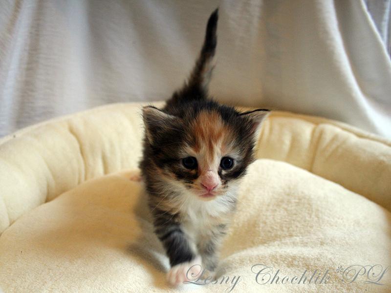 Kot norweski leśny Altere Leśny Chochlik*PL - 3 tydzień