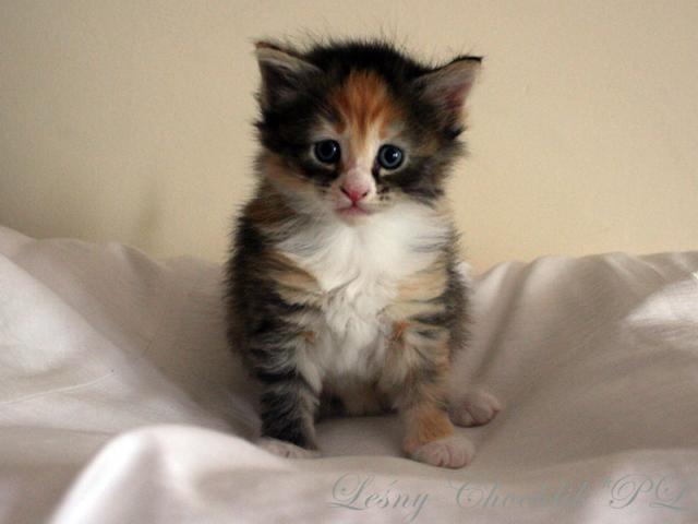 Kot norweski leśny Altere Leśny Chochlik*PL - 4,5 tygodnia