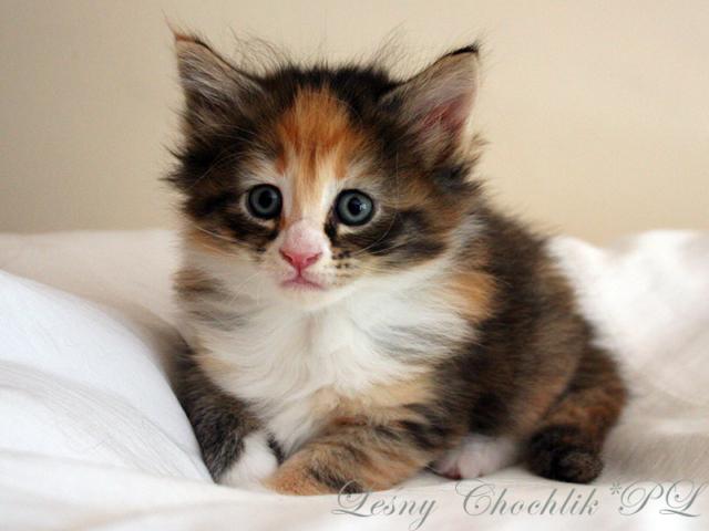 Kot norweski leśny Altere Leśny Chochlik*PL - 6 tygodni