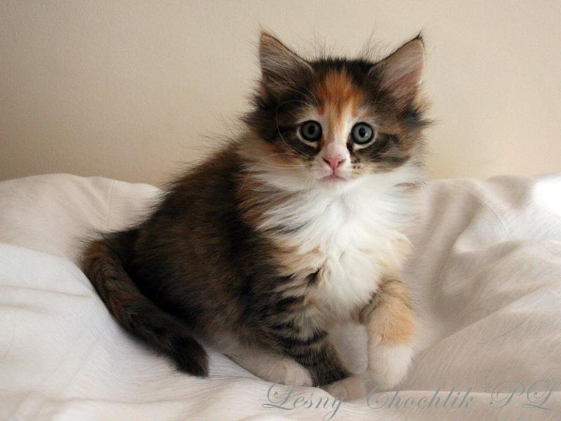 Kot norweski leśny Altere Leśny Chochlik*PL - 7 tygodni