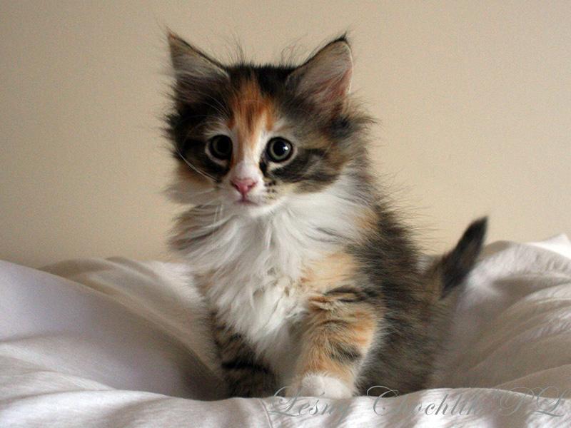 Kot norweski leśny Altere Leśny Chochlik*PL - 8,5 tygodnia