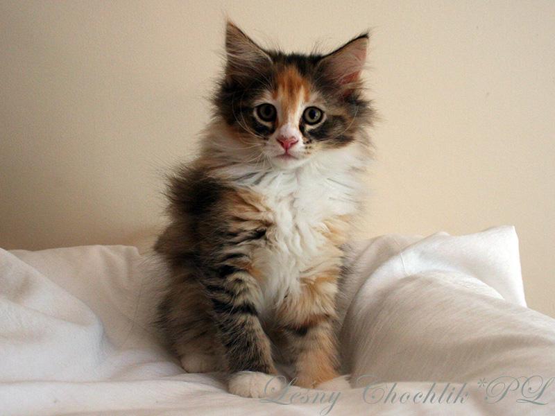 Kot norweski leśny Altere Leśny Chochlik*PL - 10 tygodni