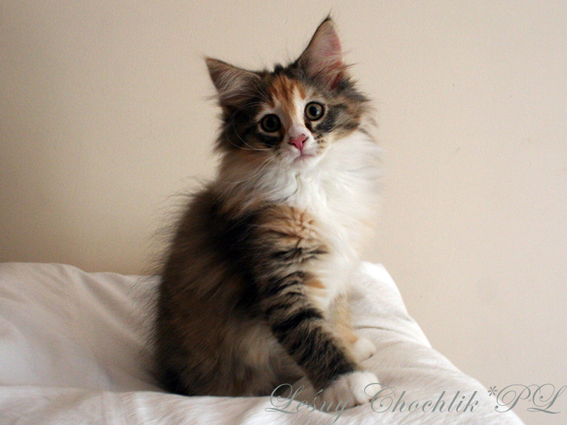 Kot norweski leśny Altere Leśny Chochlik*PL - 11,5 tygodnia