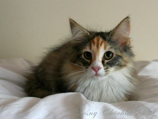 Kot norweski leśny Altere Leśny Chochlik*PL - 14 tygodni