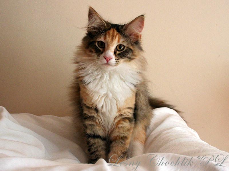 Kot norweski leśny Altere Leśny Chochlik*PL - 16 tygodni