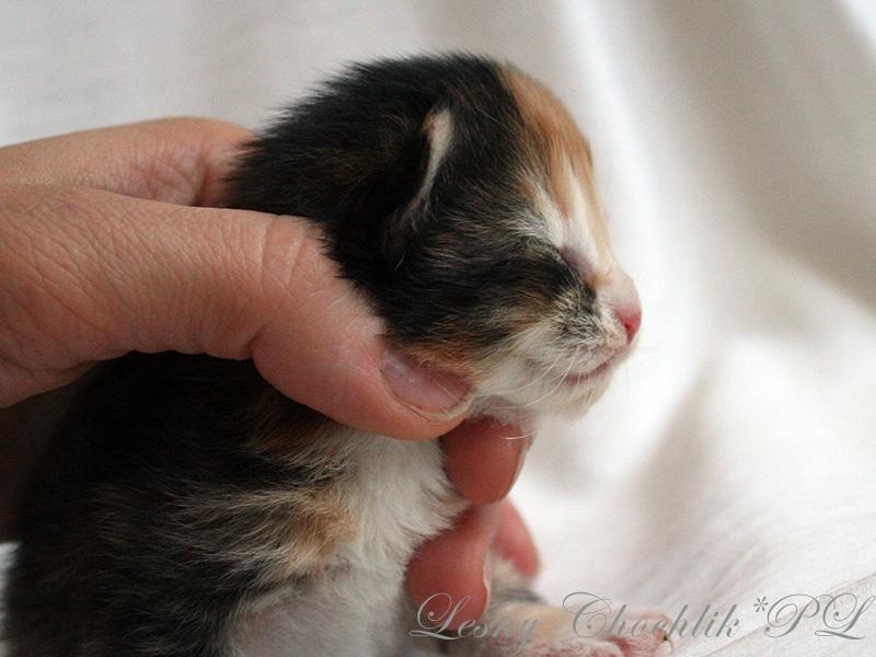Kot norweski leśny Altere Leśny Chochlik*PL - 1 tydzień