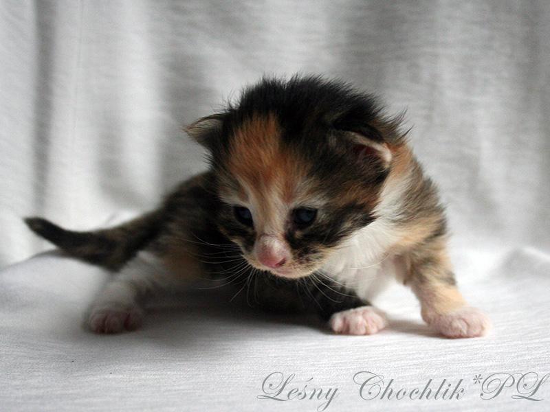 Kot norweski leśny Altere Leśny Chochlik*PL - 2 tydzień