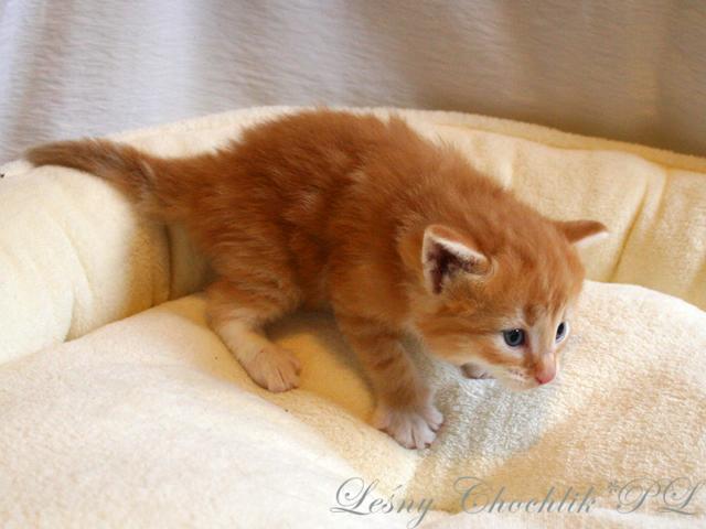 Kot norweski leśny Arcziwald Leśny Chochlik*PL - 3 tydzień