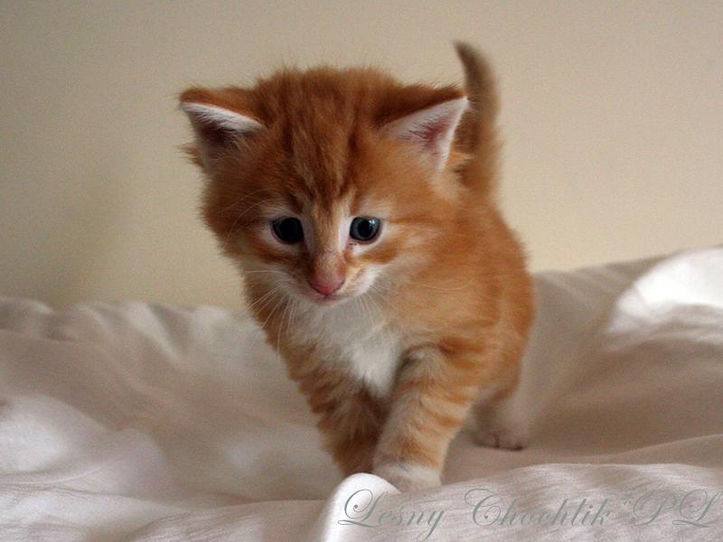 Kot norweski leśny Arcziwald Leśny Chochlik*PL - 4,5 tygodnia