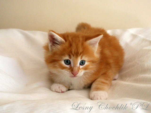 Kot norweski leśny Arcziwald Leśny Chochlik*PL - 6 tygodni