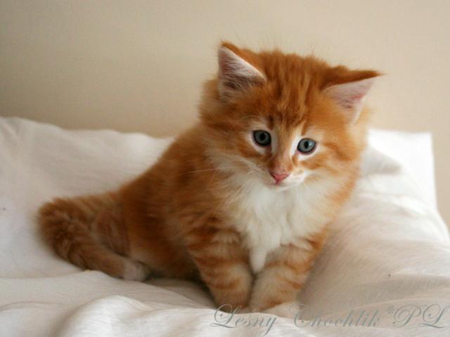 Kot norweski leśny Arcziwald Leśny Chochlik*PL - 7 tygodni