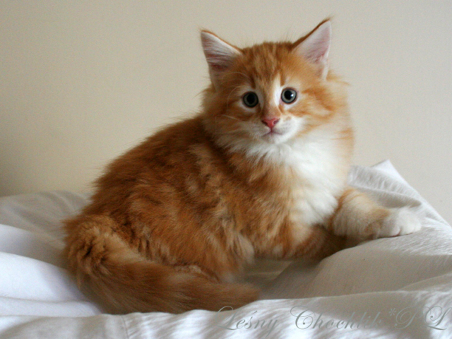 Kot norweski leśny Arcziwald Leśny Chochlik*PL - 8,5 tygodnia