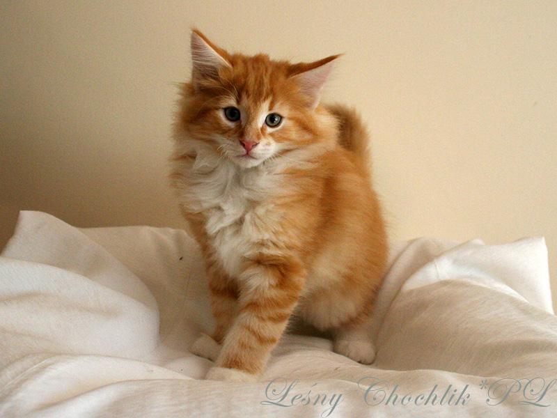 Kot norweski leśny Arcziwald Leśny Chochlik*PL - 10 tygodni