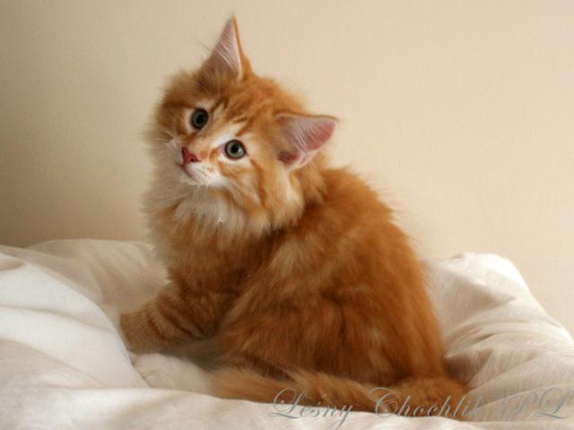 Kot norweski leśny Arcziwald Leśny Chochlik*PL - 11,5 tygodnia