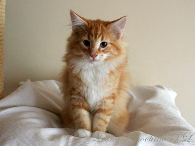 Kot norweski leśny Arcziwald Leśny Chochlik*PL - 14 tygodni