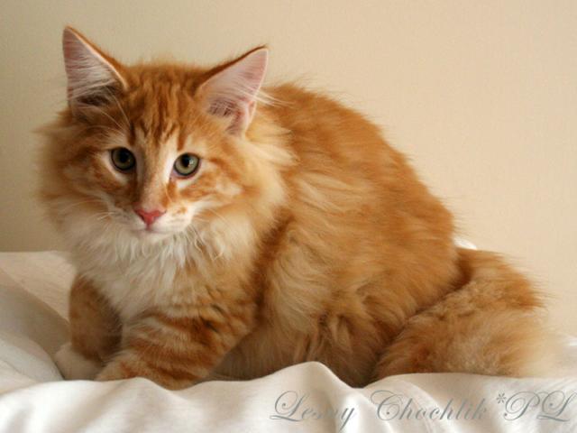 Kot norweski leśny Arcziwald Leśny Chochlik*PL - 16 tygodni