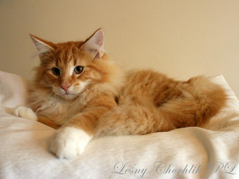 Kot norweski leśny Arcziwald Leśny Chochlik*PL - 20 tygodni