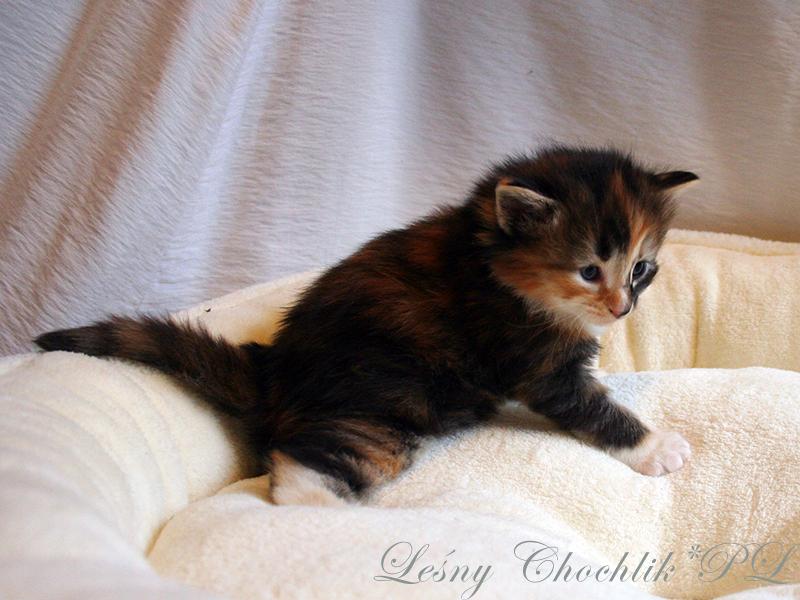 Kot norweski leśny Astrid Leśny Chochlik*PL - 3 tydzień