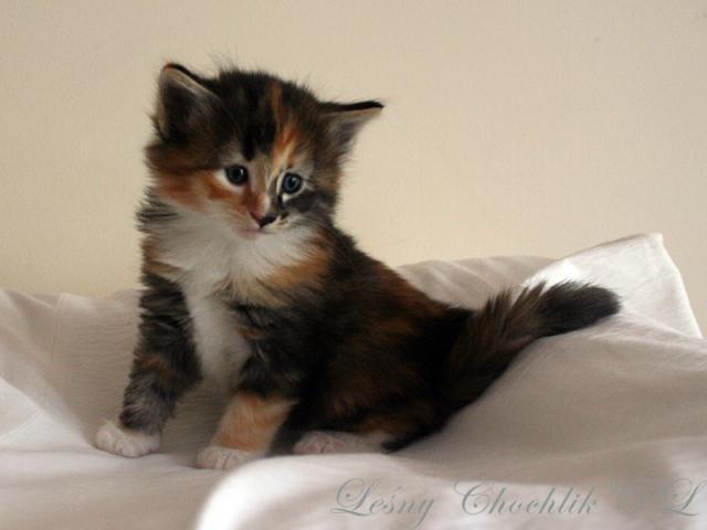 Kot norweski leśny Astrid Leśny Chochlik*PL - 4,5 tygodnia
